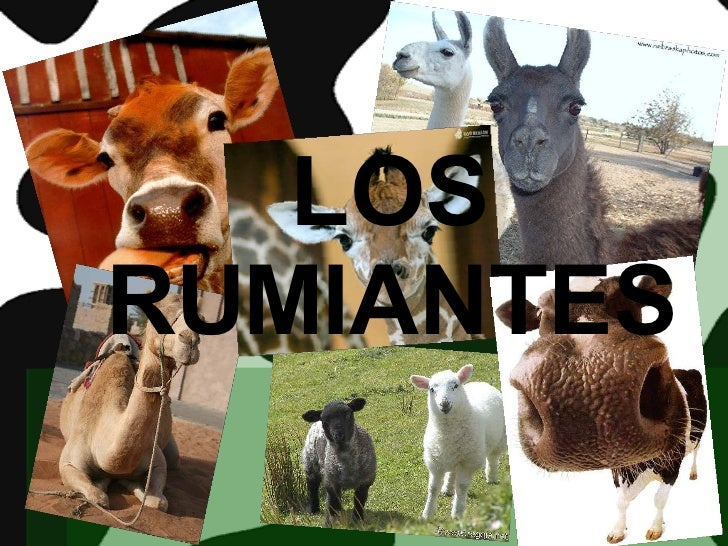 LOS RUMIANTES