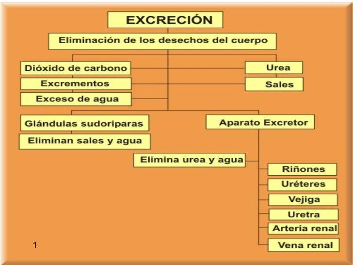 Aparato Excretor