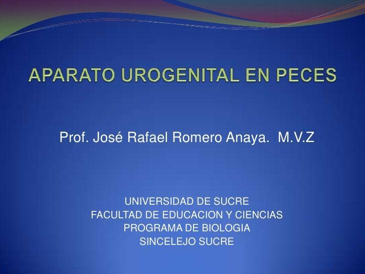 APARATO UROGENITAL EN PECES<br />Prof. José Rafael Romero Anaya.  M.V.Z<br />UNIVERSIDAD DE SUCRE<br />FACULTAD DE EDUCACI...