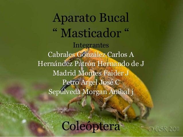 Aparato bucal masticador , coleoptero