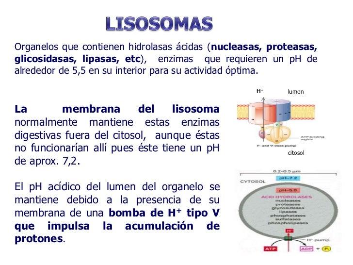 Aparato de golgi lisosomas y peroxisomas