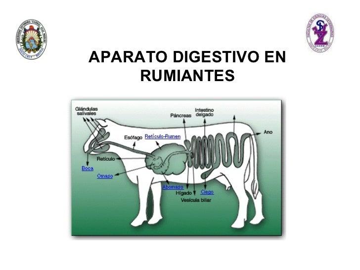<ul><ul><li>APARATO DIGESTIVO EN RUMIANTES </li></ul></ul>