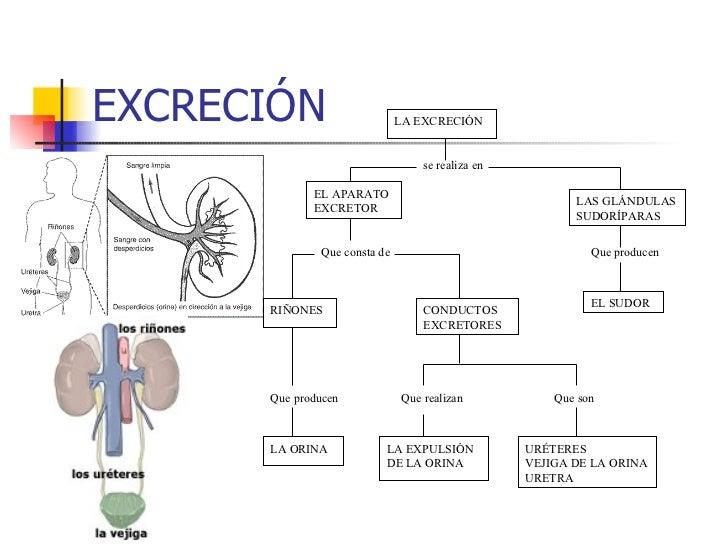 Hermosa Hembra Diagrama Del Sistema Urinario Foto - Anatomía de Las ...