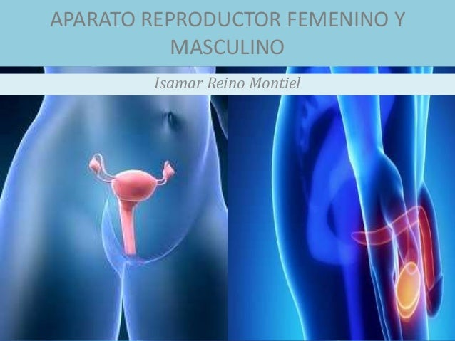 APARATO REPRODUCTOR FEMENINO Y MASCULINO Isamar Reino Montiel