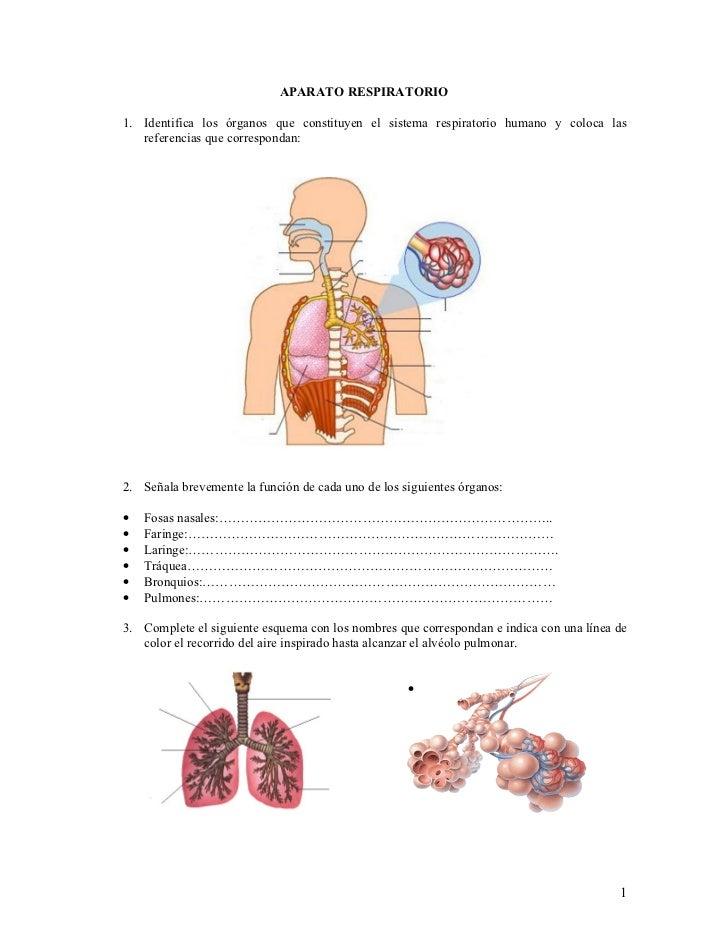APARATO RESPIRATORIO  1. Identifica los órganos que constituyen el sistema respiratorio humano y coloca las    referencias...