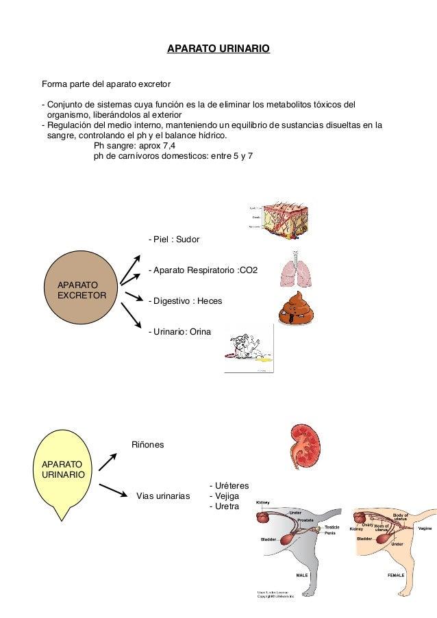 APARATO URINARIO Forma parte del aparato excretor - Conjunto de sistemas cuya función es la de eliminar los metabolitos tó...