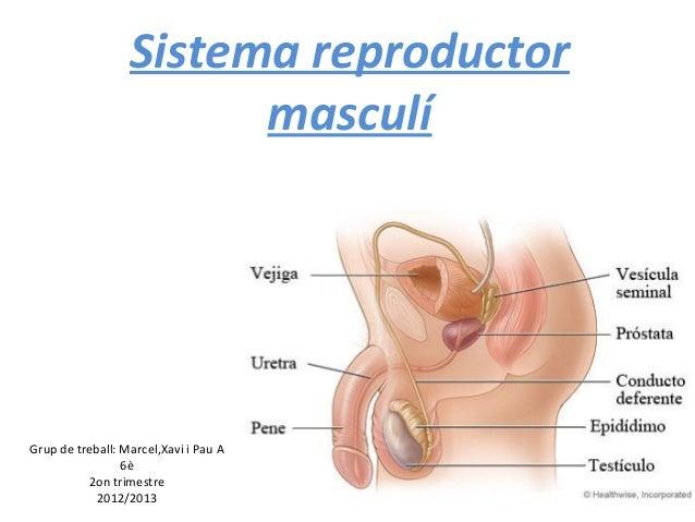 Sistema reproductor                        masculíGrup de treball: Marcel,Xavi i Pau A                 6è          2on tri...