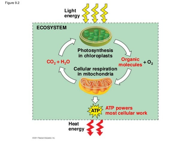 ap biology photosynthesis and cellular respiration essay ____ 1 what is the term used for the metabolic pathway in which glucose ( c6h12o6) is degraded to carbon dioxide (co2) and water a cellular  respiration.
