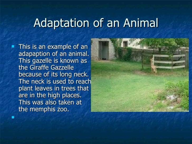 Adaptation of an Animal <ul><li>This is an example of an adapaption of an animal. This gazelle is known as the Giraffe Gaz...