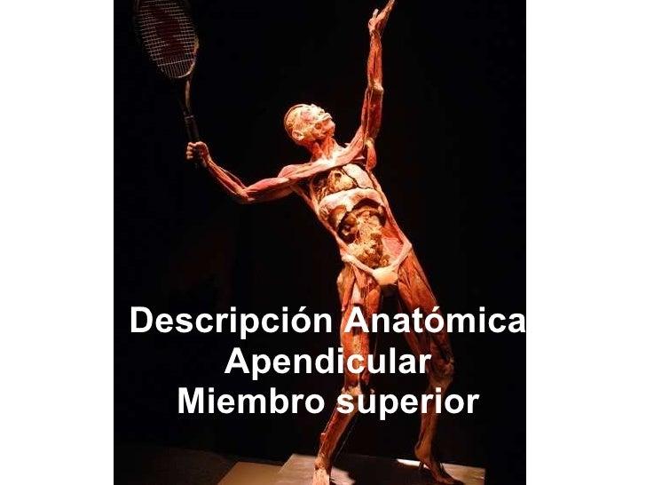 Descripción Anatómica Apendicular Miembro superior
