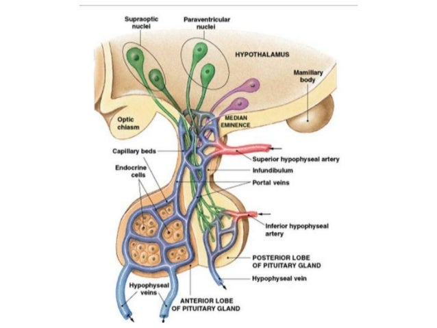 The Hypothalamus (Integrative Systems) Part 2