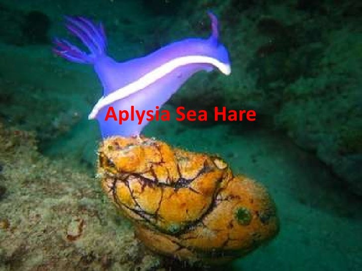 Aplysia Sea Hare Oh