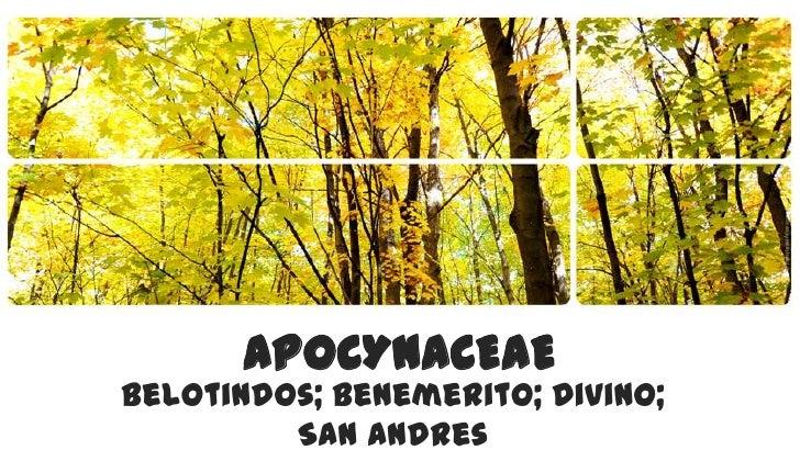 APOCYNACEAE<br />Belotindos; Benemerito; Divino; San Andres <br />