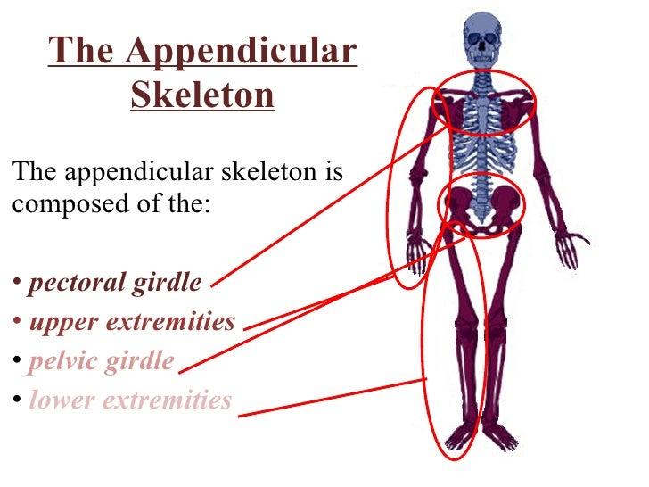 appendicular skeletal system essay