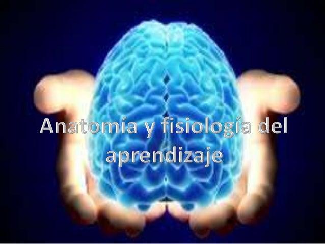 1)Parte baja (cerebro reptiliano):controla funciones distintivas como la respiración. 2)En el centro (cerebro mamífero ant...