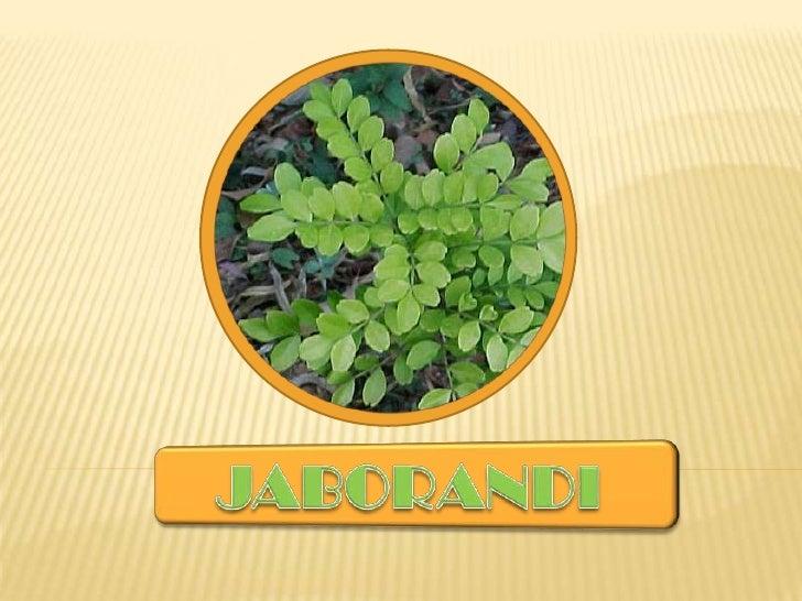 JABORANDI<br />
