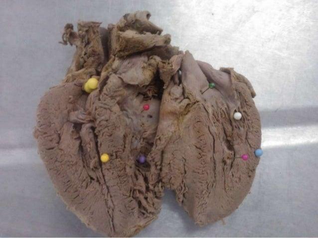 anatomia do sistema respiratorio e sistema circulatorio