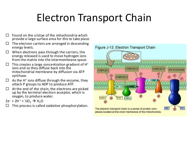 simple glycolysis cycle diagram electron transport chain diagram elsavadorla. Black Bedroom Furniture Sets. Home Design Ideas