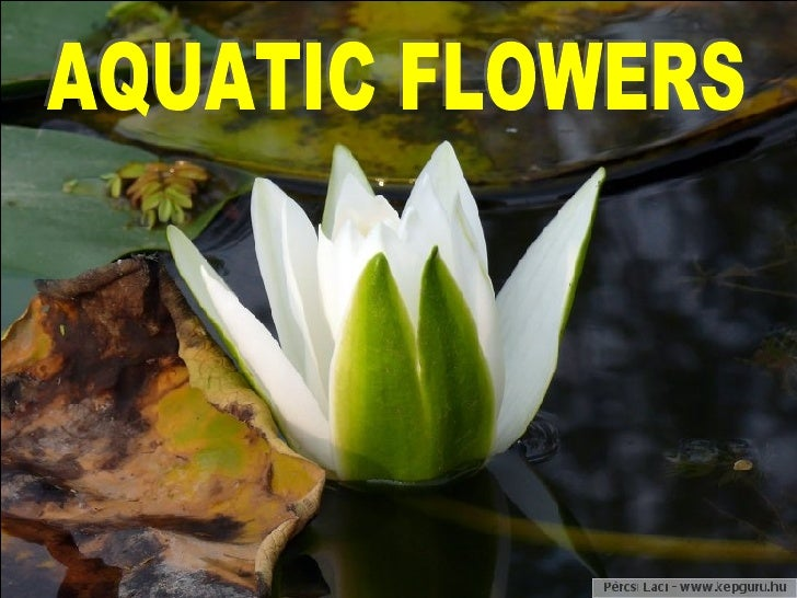 Aquatic Flowers