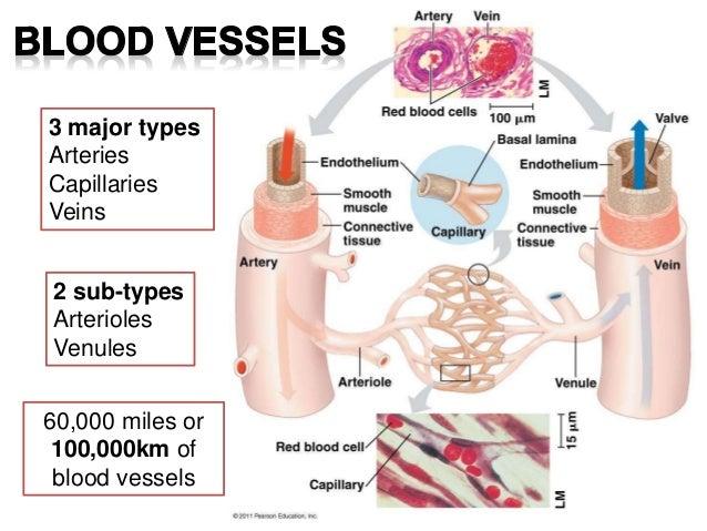 Veins Arteries Capillaries Arteries Capillaries Veins