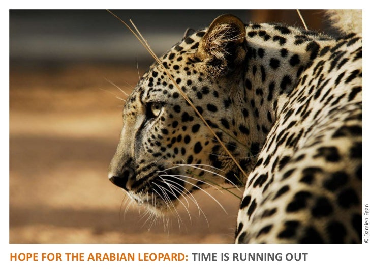 The Arabian leopard is going extinct: Photos