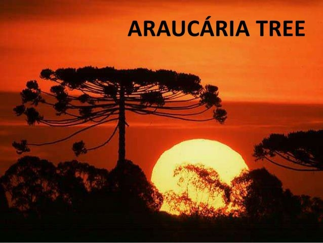 ARAUCÁRIA TREE(Araucaria angustifolia)*CHARACTERISTICS:  High trees with 20m-25m of height,cylindrical trunkwith thick and...