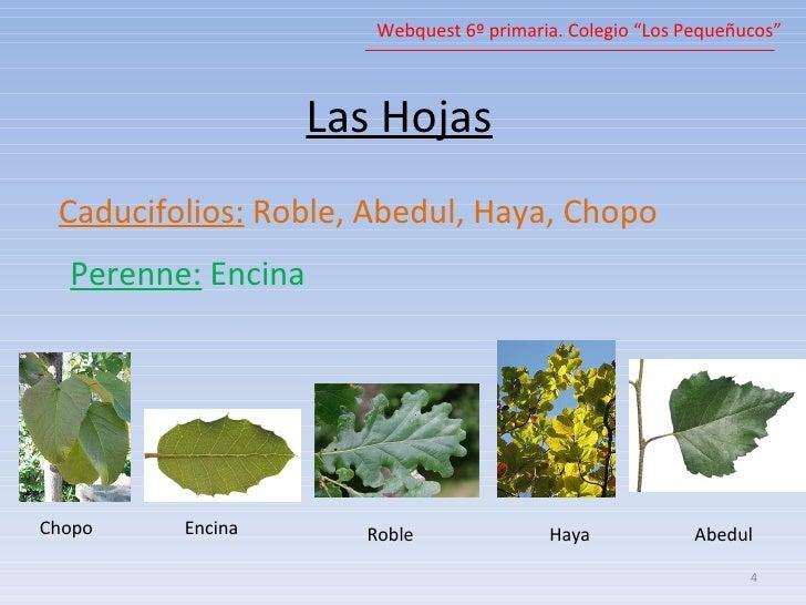 Arboles for Arboles de hoja perenne limpios
