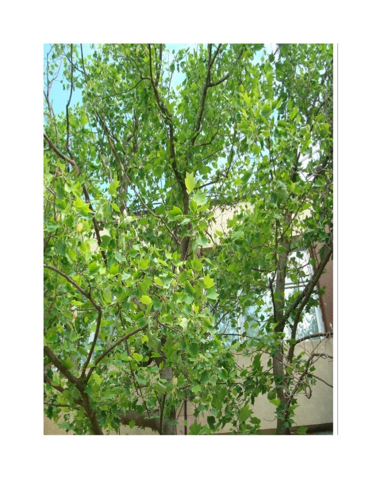 Arborele de lalele   lectie pentru studiul mediului concret
