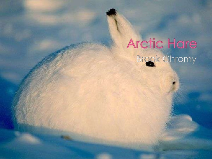 Arctic Hare<br />Brook Chromy<br />