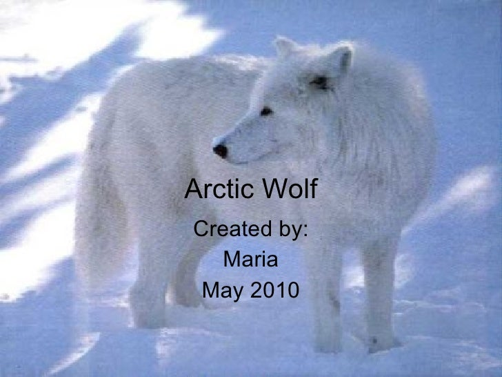 Arctic Wolf Created by: Maria May 2010