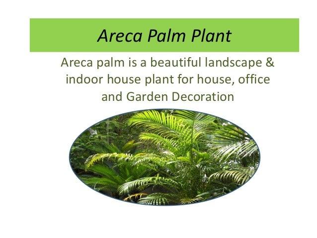areca palm plant indoor outdoor care fertilizer