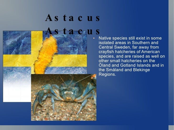 <ul><li>Native species still exist in some isolated areas in Southern and Central Sweden, far away from crayfish hatcherie...