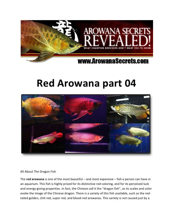 Red Arowana part 04<br />All About The Dragon Fish<br />The red arowana is one of the most beautiful – and most expensive ...