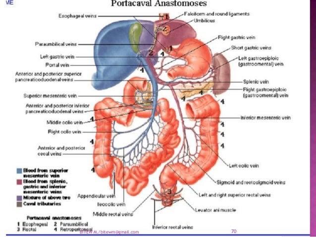Arterial Supply Of The Abdomen Aorta Ppt