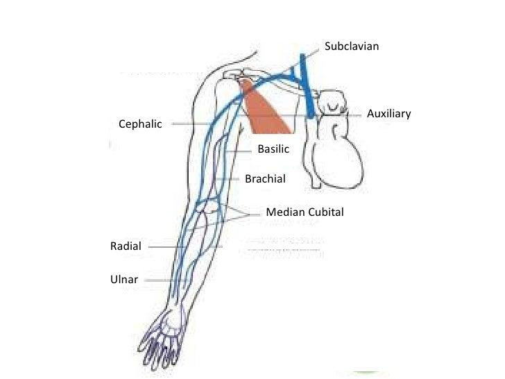 arteries  u0026 veins of the upper body