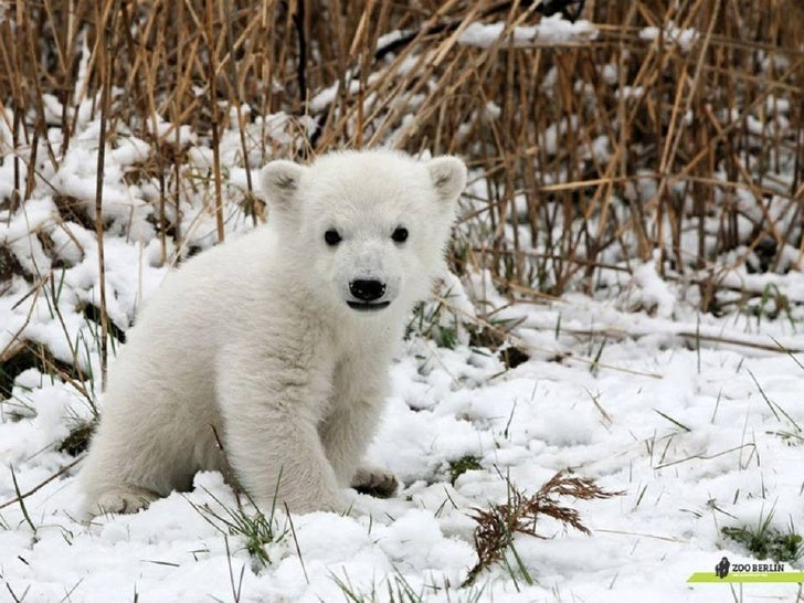 Petit ours blanc !