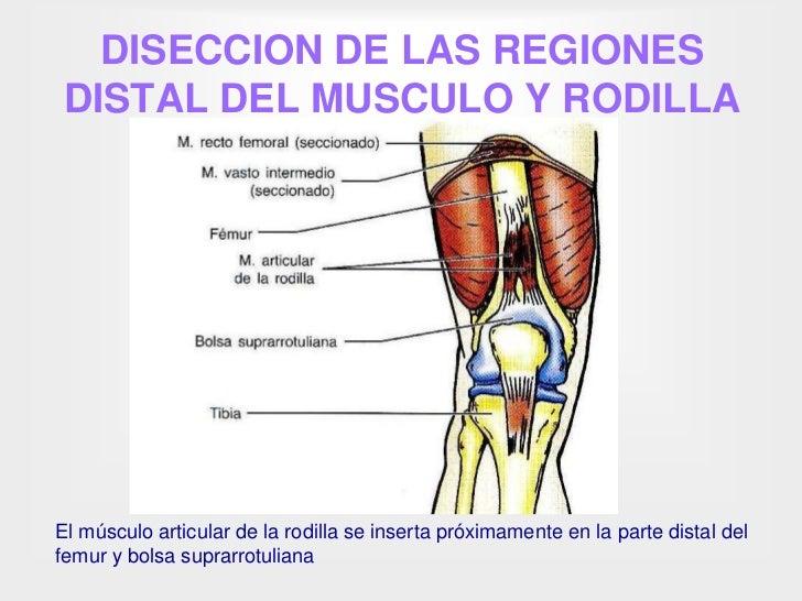 Asombroso Los Músculos Y Los Tendones De La Rodilla Ideas - Anatomía ...