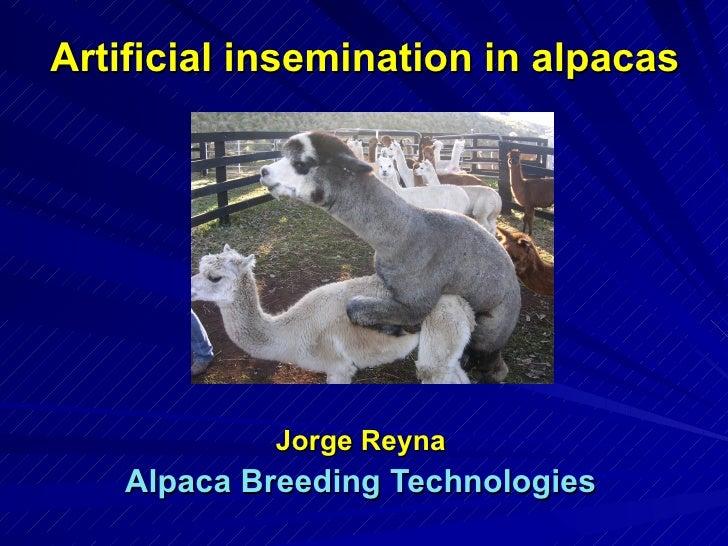 Artificial Insemination in Alpacas