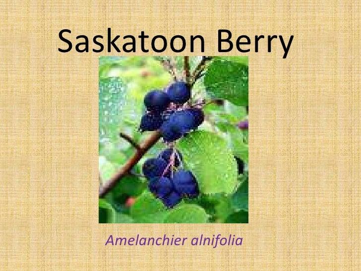 Saskatoon Berry        Amelanchier alnifolia