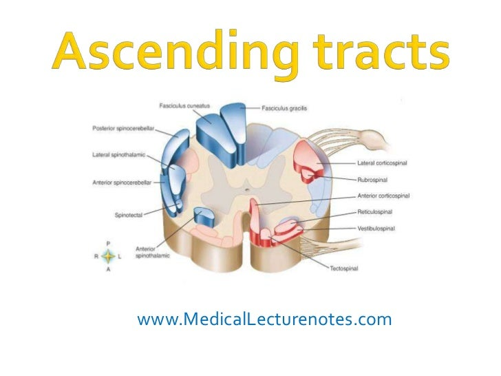 www.MedicalLecturenotes.com