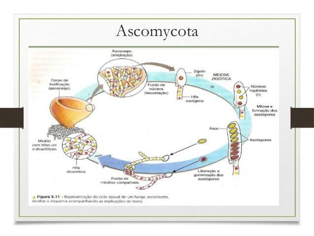Ascomicetos E Basidiomicetos Filos Basidiomycota E