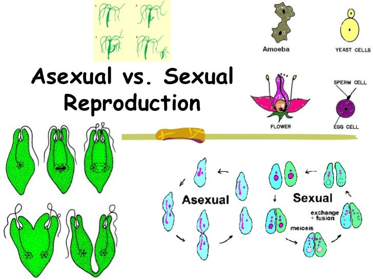 This shows sexual reproduction cells from two different parents – Sexual and Asexual Reproduction Worksheet