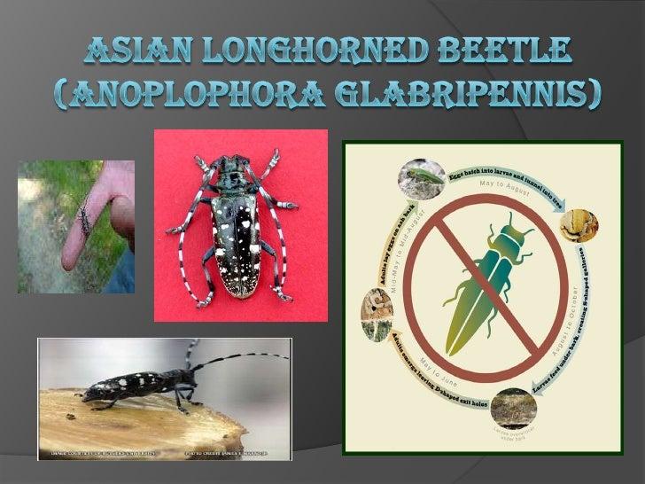 Asian Longhorned beetle(Anoplophoraglabripennis)<br />