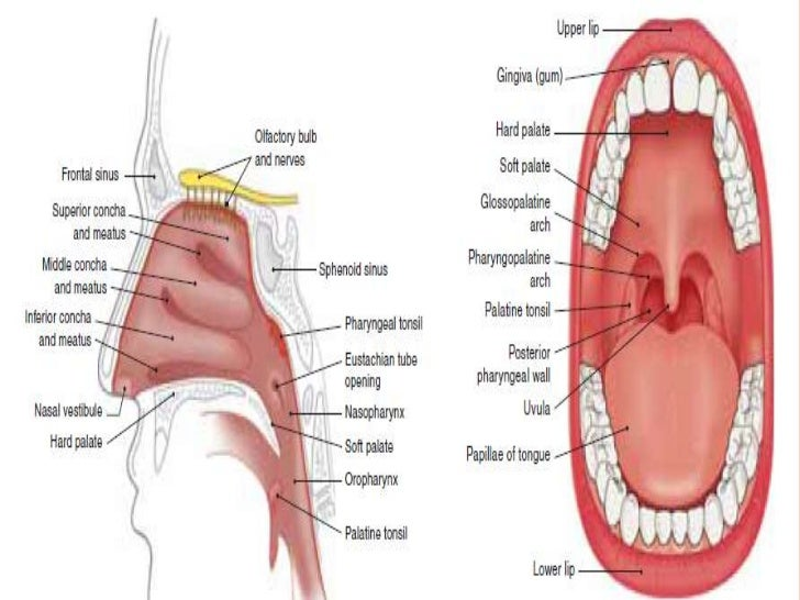 Anatomy of mouth and teeth