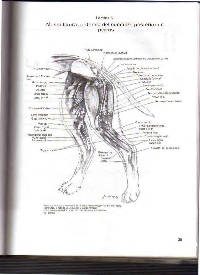 Atractivo Imágenes Anatomía Del Perro Galería - Imágenes de Anatomía ...