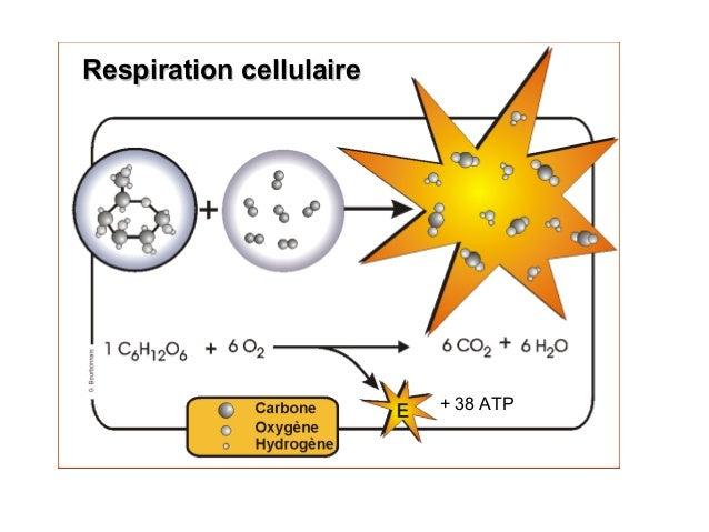 C6H12O6 + 6 O2 -> 6 CO2 + 6 H2O 38 ATP formés MMM Respiration cellulaireRespiration cellulaire + 38 ATP