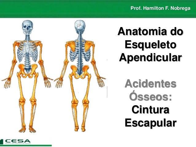 Prof. Hamilton F. Nobrega Anatomia do Esqueleto Apendicular Acidentes Ósseos: Cintura Escapular