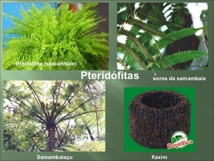ciclo de vida de um musgo 7 pteridófitas