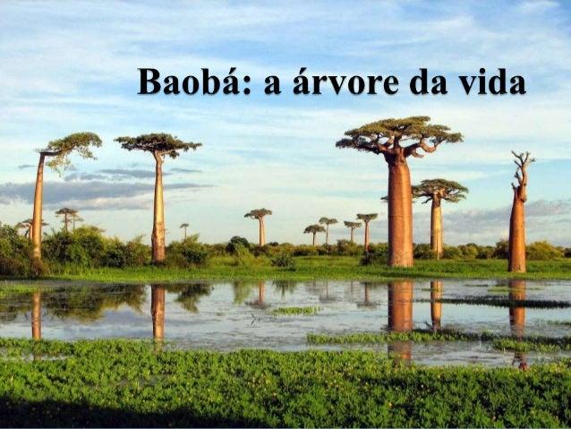 Os Baobás atingem até 30 metros de altura e vivem até 6.000 anos de idade. É conhecida como a árvore de ponta cabeça, pois...