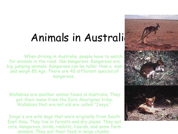 Animals in Australia When driving in Australia, people have to watch for animals in the road  like kangaroos. Kangaroos ar...